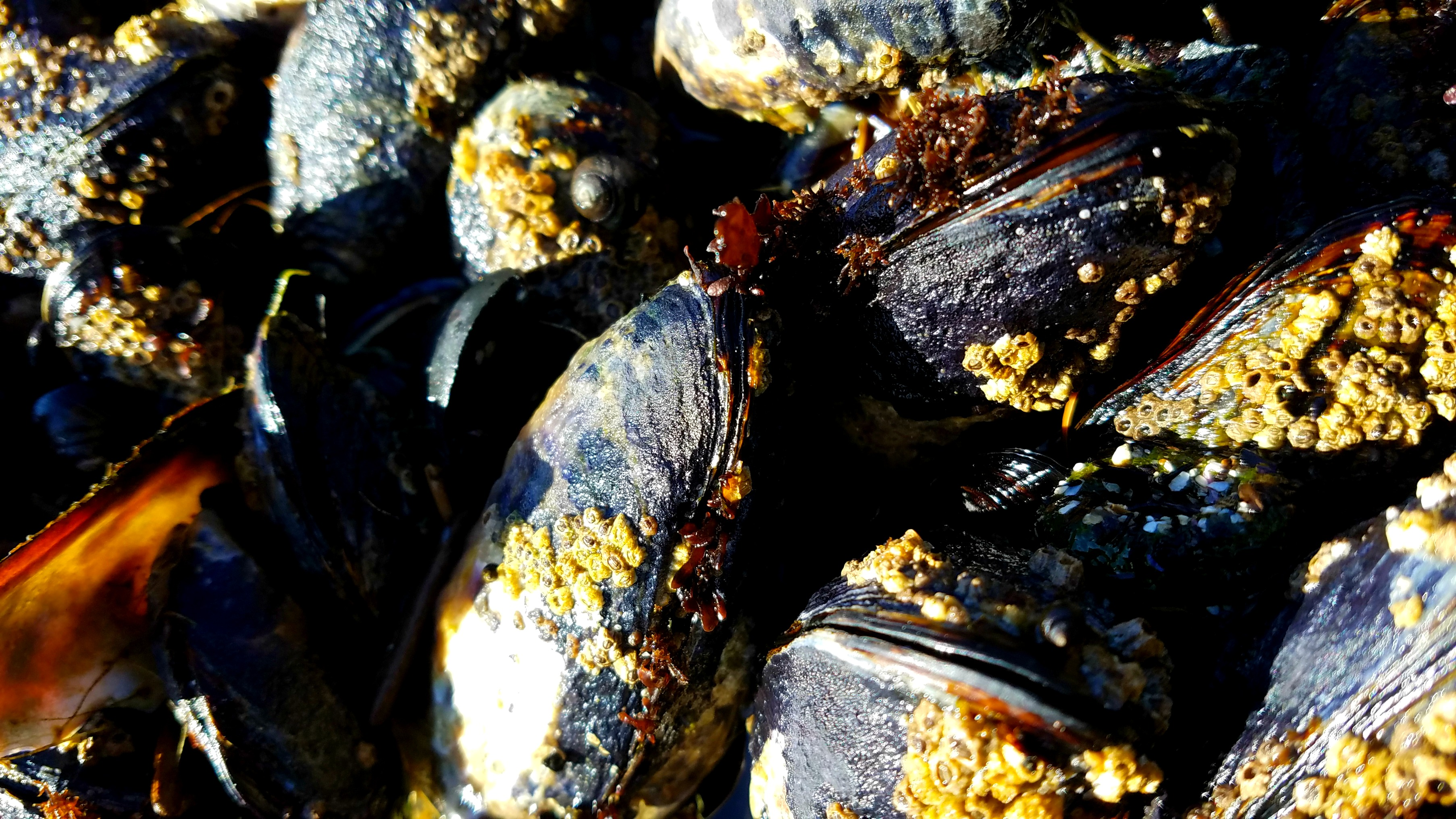 California Mussels in the tide pools at Yaquina Head