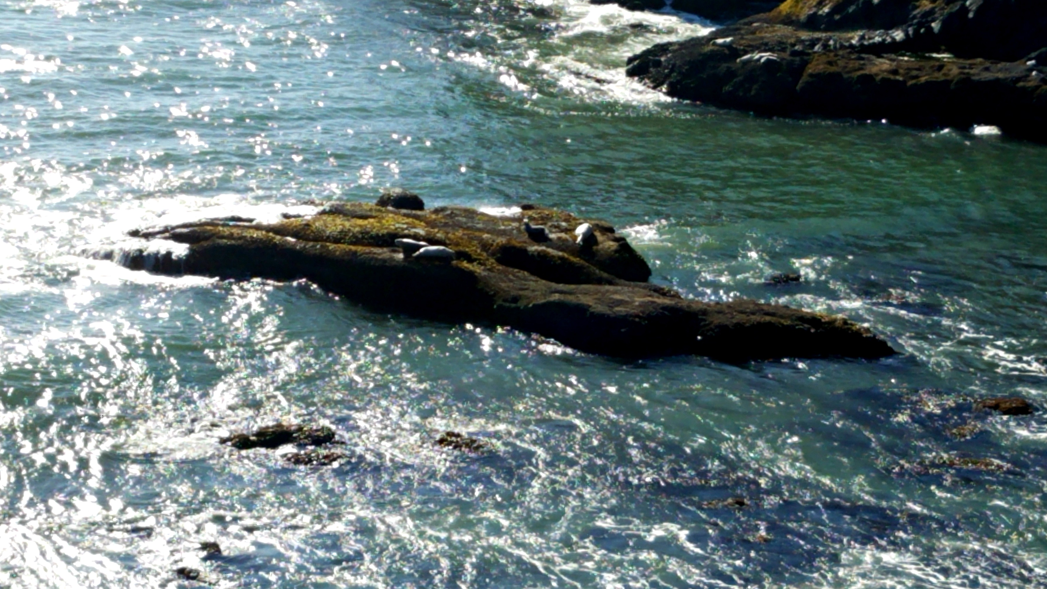 Seals at Yaquina Head